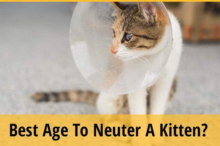 Best Age To Neuter A Kitten?