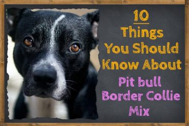 Things You Should Know About the Pit bull Border Collie Mix