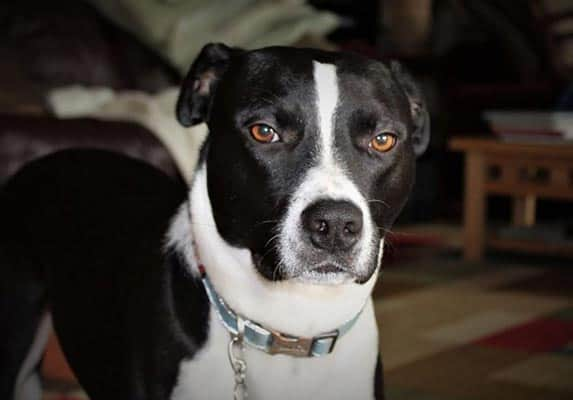 10 Things To Know About The Pit Bull Border Collie Mix Zooawesome