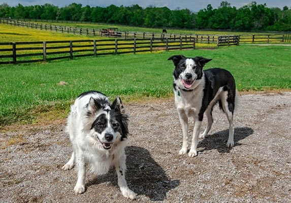 Pit bull Border Collie Mix Guard Dog