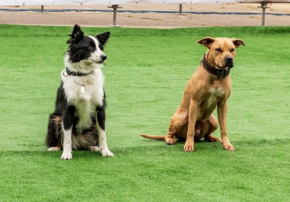 Pit bull Border Collie Mix Origin