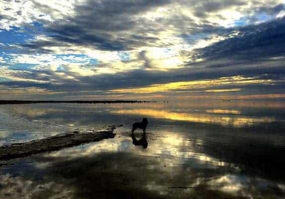 Pit bull Border Collie Mix Lifespan