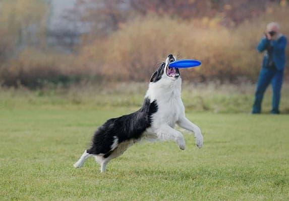 Pit bull Border Collie Mix Training