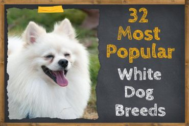 popular white dog breeds