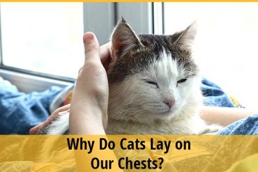 Why Do Cats Lay on Our Chests