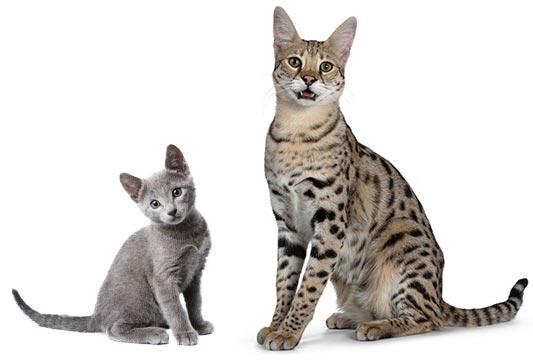 Cat body type