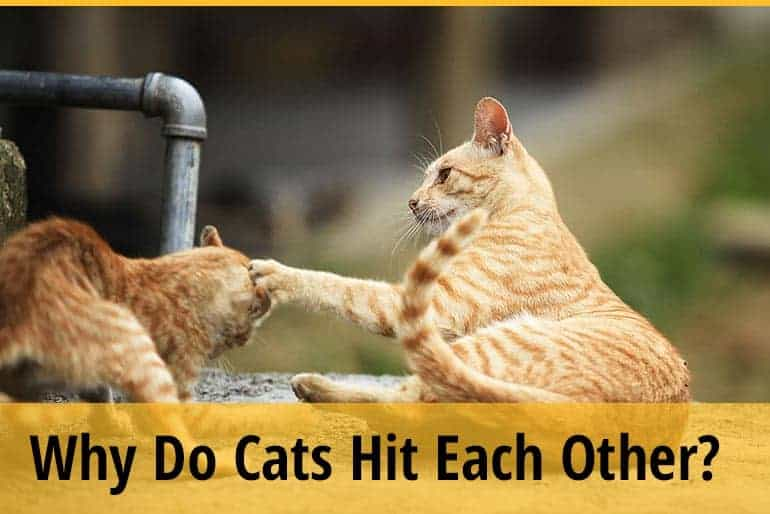 Why do cats hit each other