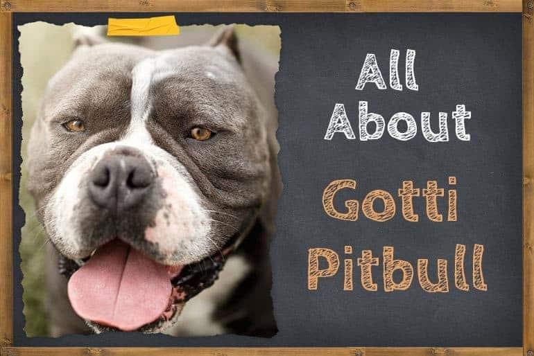 All About Gotti Pitbull