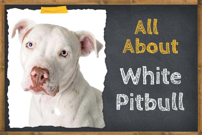 All About white Pitbull