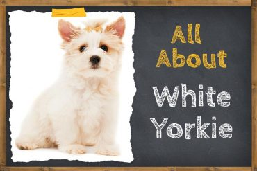 All About White Yorkie