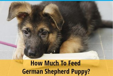How much to feed german shepherd puppy