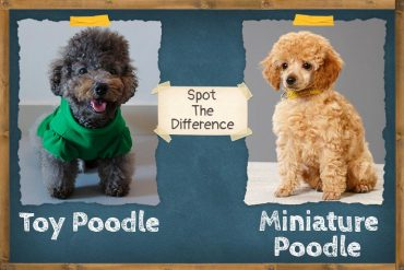 Miniature Poodle vs Toy Poodle
