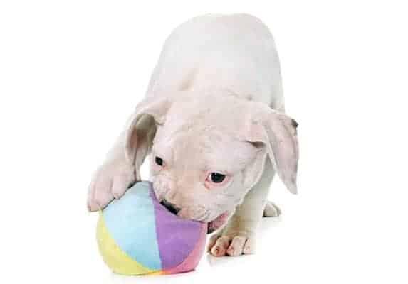 White Pitbull Puppy