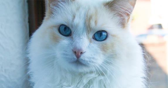 Flame point bicolor ragdoll