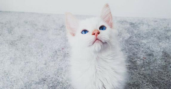 flame mitted ragdoll cat