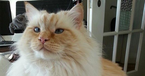 flame colorpoint ragdoll cat