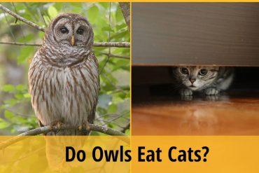 do owl eat cats