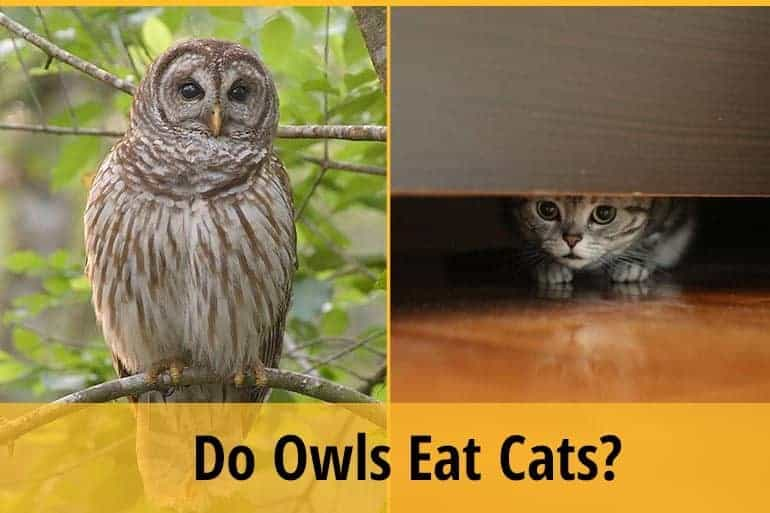 do owl eat cats
