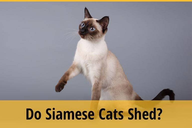 Do siamese cat shed?