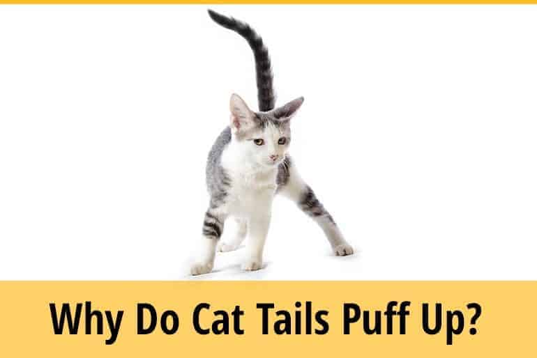 why do cat tail puff up