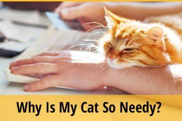 Why Is My Cat So Needy