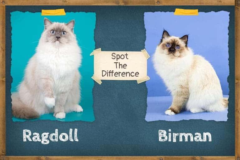 birman vs ragdoll spot the difference