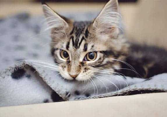 cat biting blanket