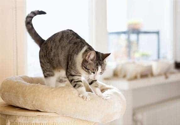 cat kneading blanket
