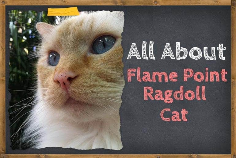 Flame point ragdoll cat