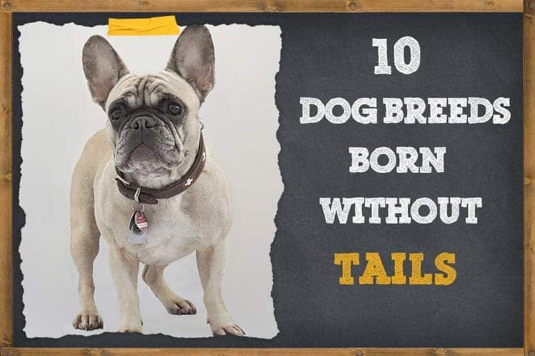 10 Dog Breeds Born Without Tails