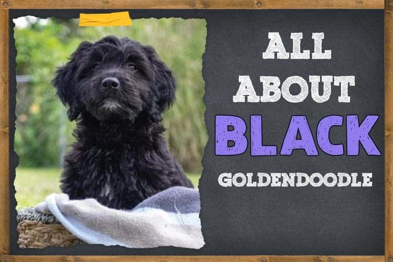 All About Black Goldendoodle