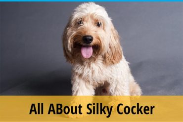 All About Silky Cocker