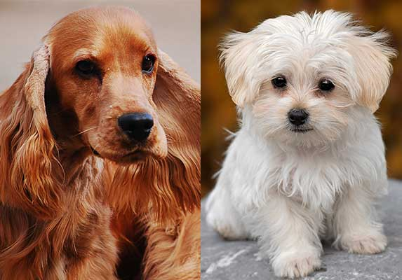 American cocker spaniel and maltese