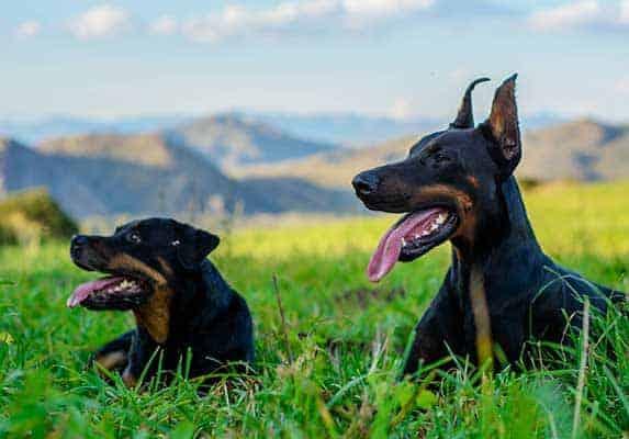 Doberman and rottweiler