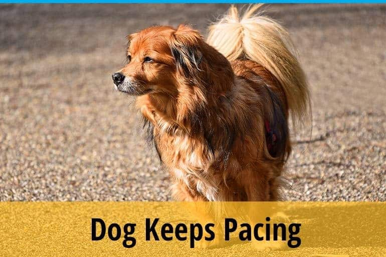 Why Some Dogs Keep Pacing and Wont Lie Down