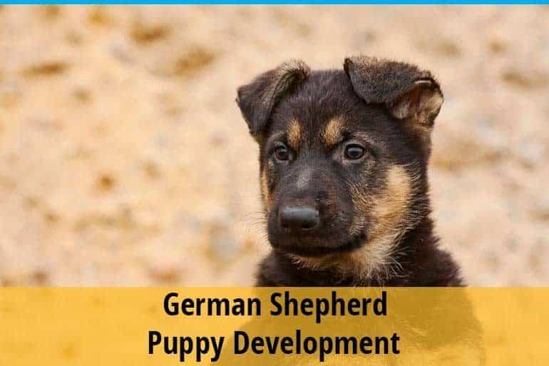 German Shepherd Puppy Development