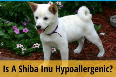 Is a Shiba Inu Hypoallergenic