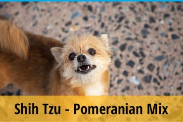 Shih Tzu and Pomeranian Mix