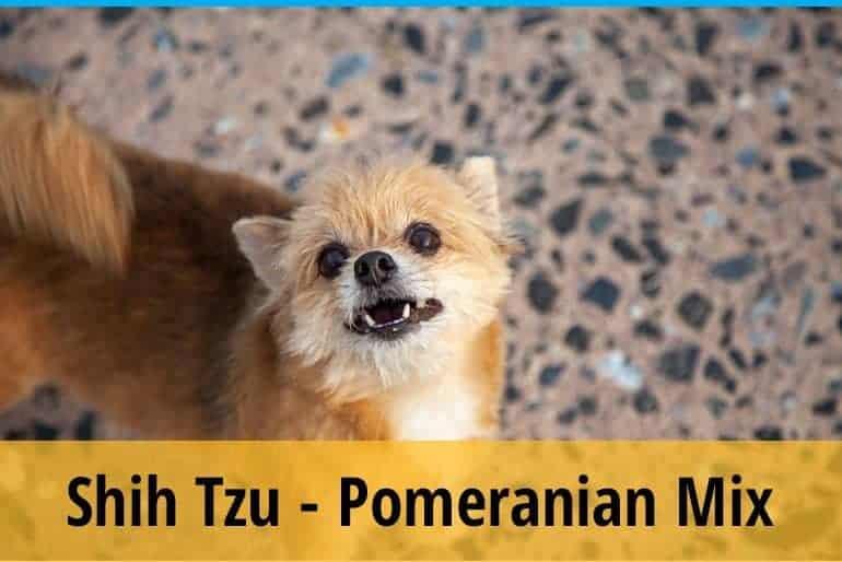 Shih Tzu And Pomeranian Mix Things