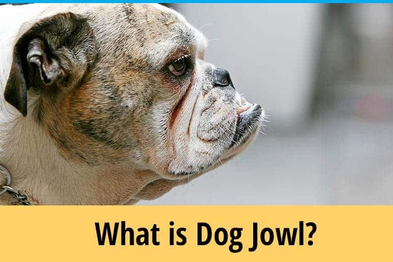 What is dog jowls