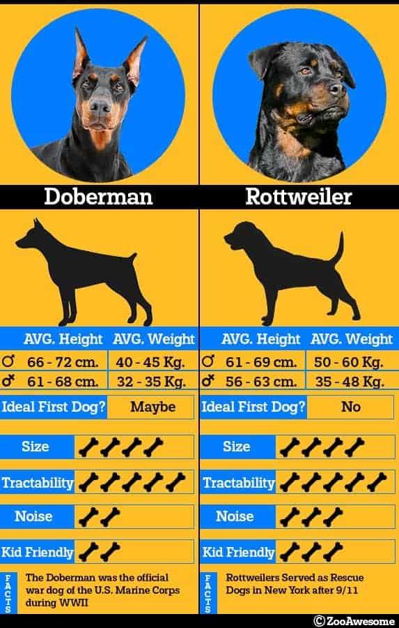 Rottweiler and doberman comparison