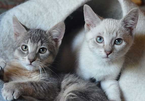 lynx point siamese kittens
