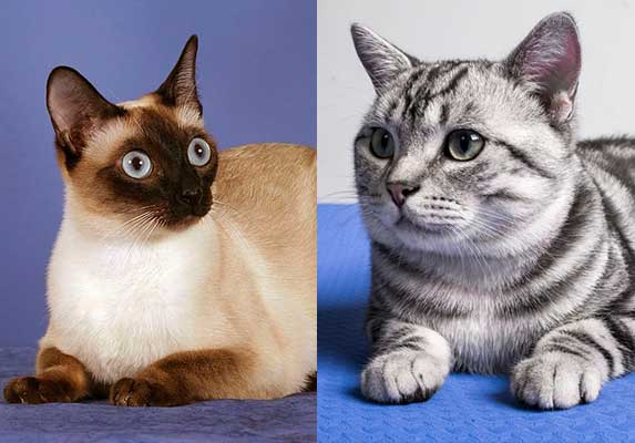 siamese and tabby cat