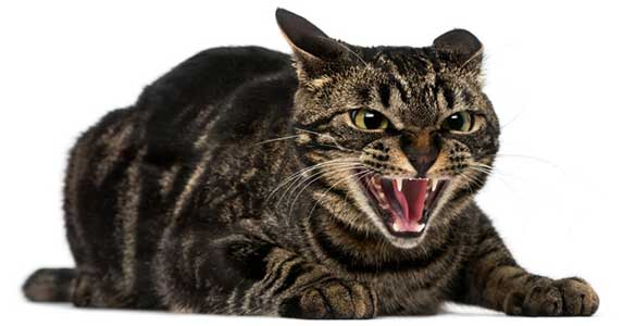 hissing cat