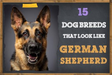 Dog Breeds That Look Like German Shepherds