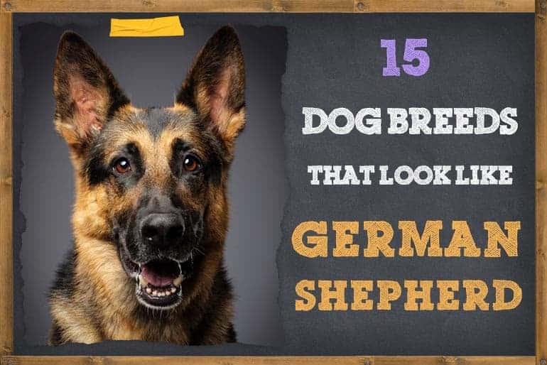Dog Breeds That Look Like German Shepherds