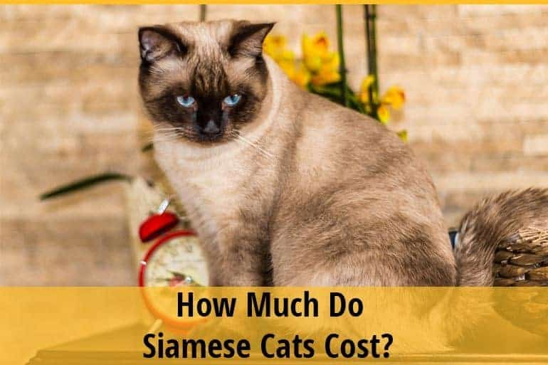 How Much Do Siamese Cats Cost?