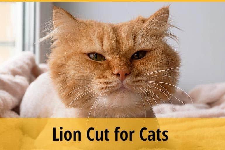 lion cut for cats