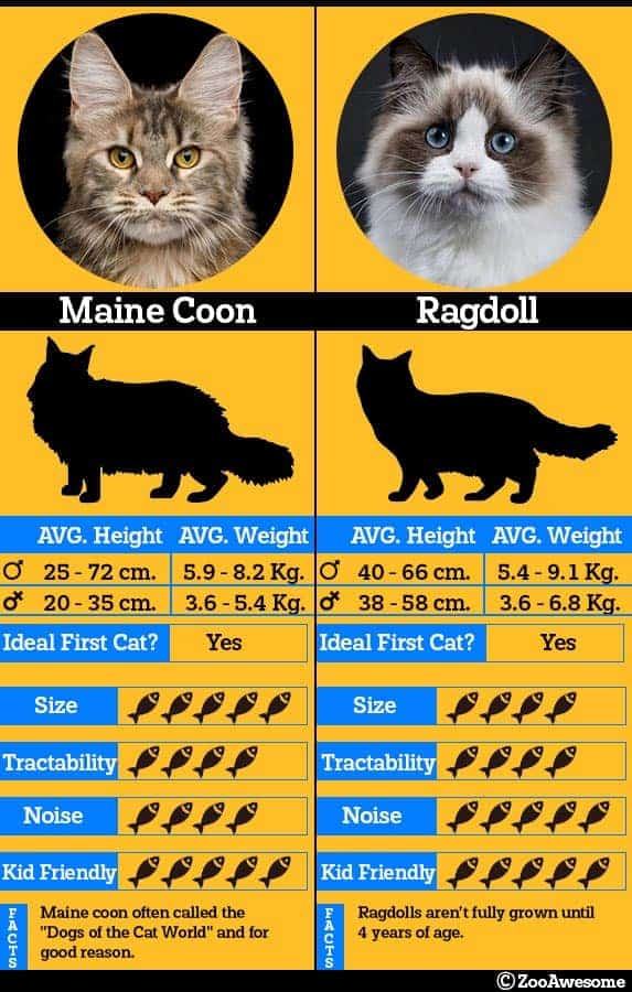 Maine coon and ragdoll comparison chart