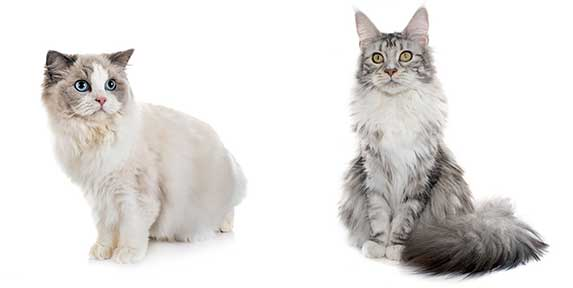 ragdoll and maine coon